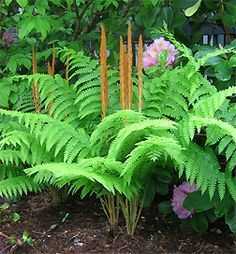 Osmunda cinnamomea - i have these in my shade garden - love them.