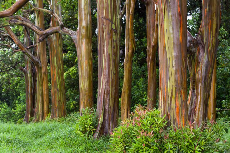my new favorite tree, Eucalyptus deglupta ( Rainbow Eucalyptus ) bark peels and changes colour over the sj showing all the colors of the rainbow. Can grow up to 200ft tall and 6ft wide. Damn sexy you ask me.