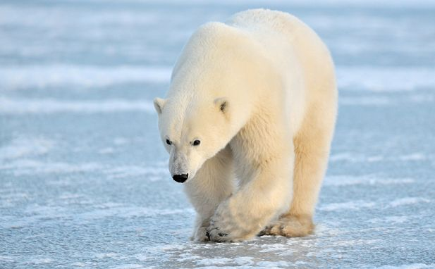Russian pilot who crashed in Arctic survives polar bear encounter http://www.telegraph.co.uk/news/worldnews/arctic/11766875/Russian-pilot-who-crashed-in-Arctic-survives-encounter-with-polar-bears.html …