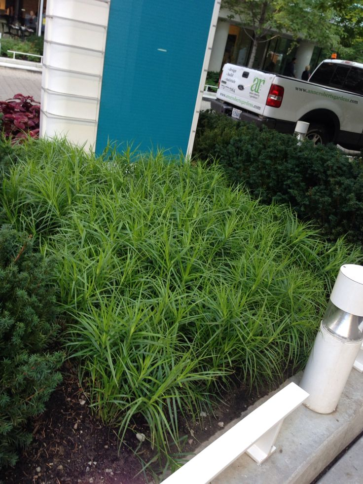 Carex Muskimensis, Awesome Groundcover Sun Or Shade
