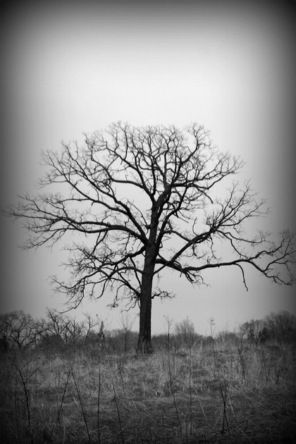 ~The Lonely Oak~ Northeast Corner of Iowa in the beautiful town of Decorah.  *For Sale Print*