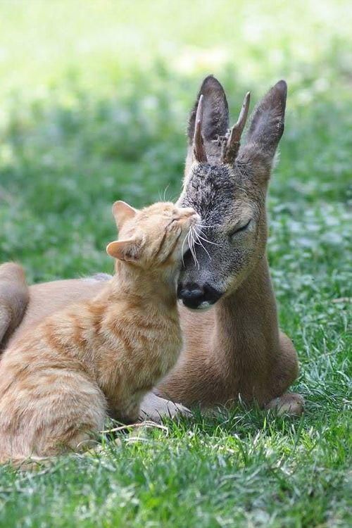 Delicate friendship: The ginger cat and baby deer share an affectionate moment. Picture by © Rex/Vitaly Tkach via metro.co.uk