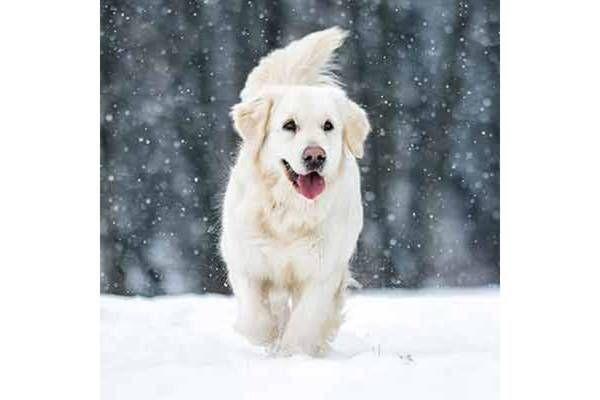 Grazer Hunde Leben Jetzt Steuerfrei Golden Retriever Golden Retriever Rasse Englische Golden Retriever