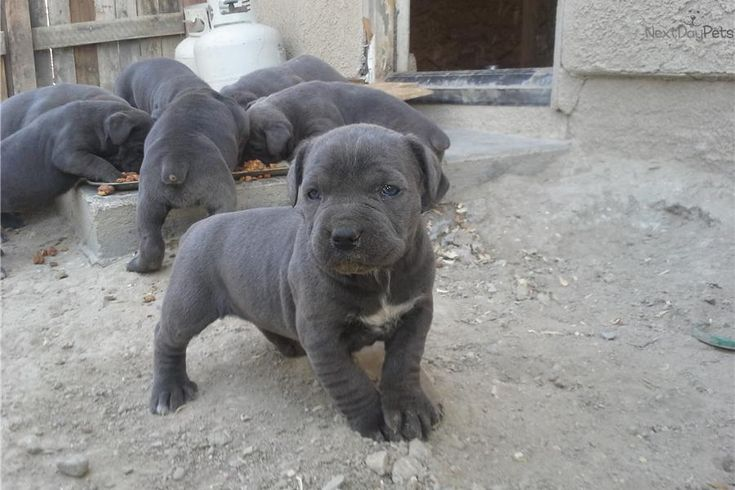 Meet Bonnie Blue a cute Cane Corso Mastiff Dogs I like
