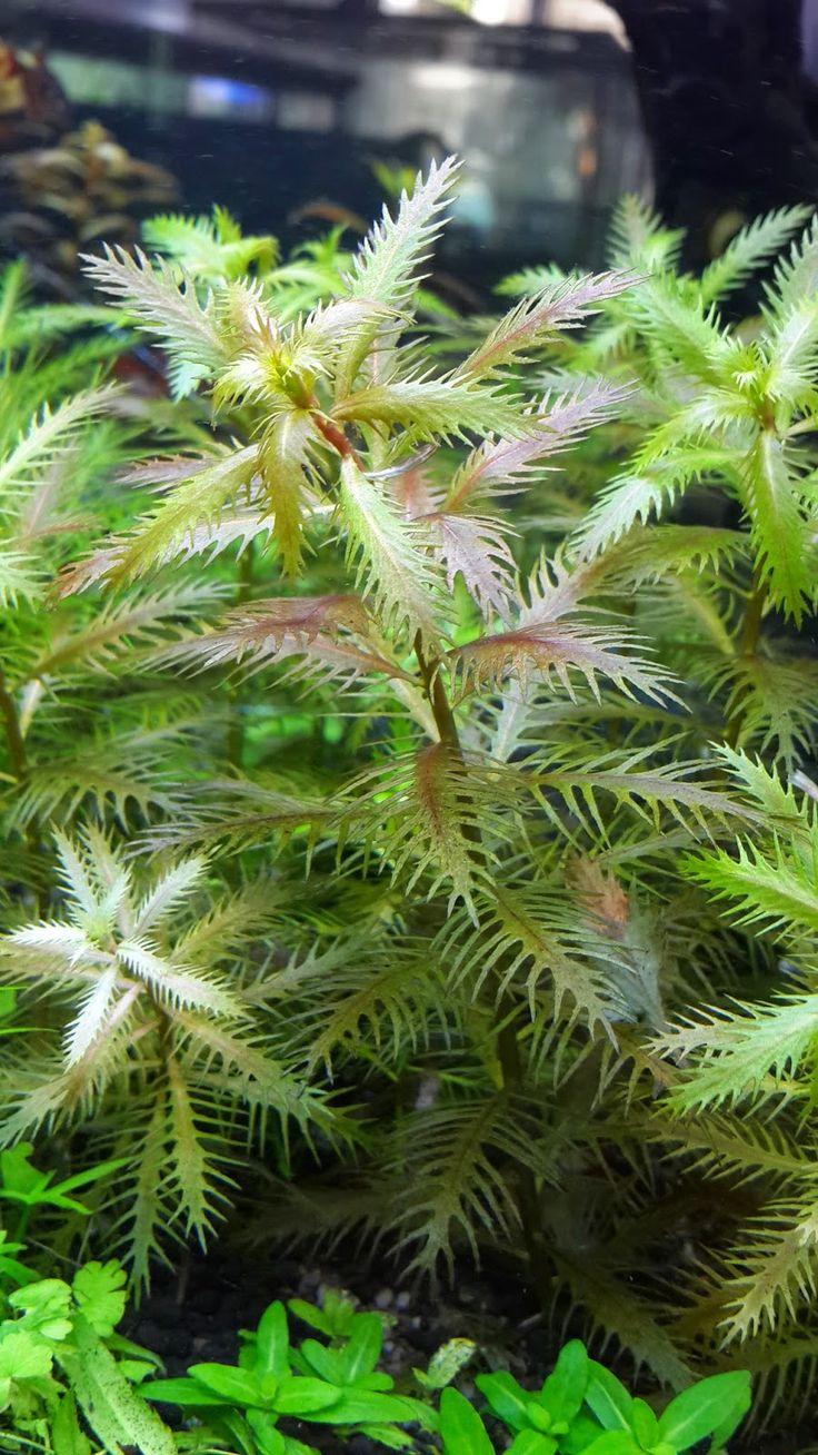 BIOTA AQUATIC PLANT: JUAL TANAMAN AIR / TANAMAN HIAS ...