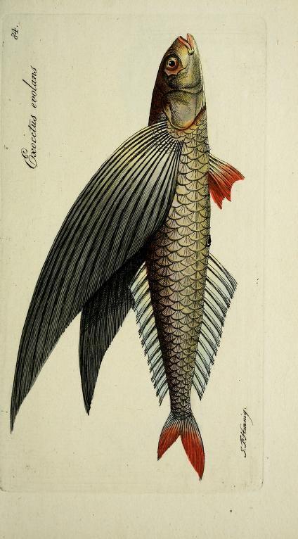Systema Ichthyologiae Iconibus, Marcus Elieser Bloch, 1801.