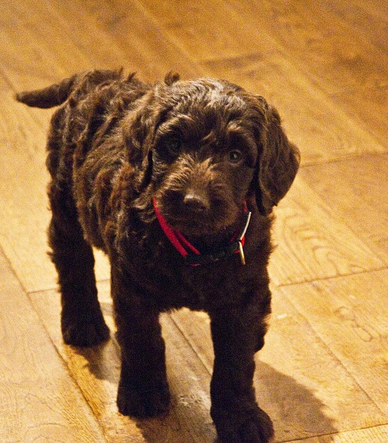 Sweet chocolate Labradoodle puppy, reminds me of puppy!  Who is now 3 years old.