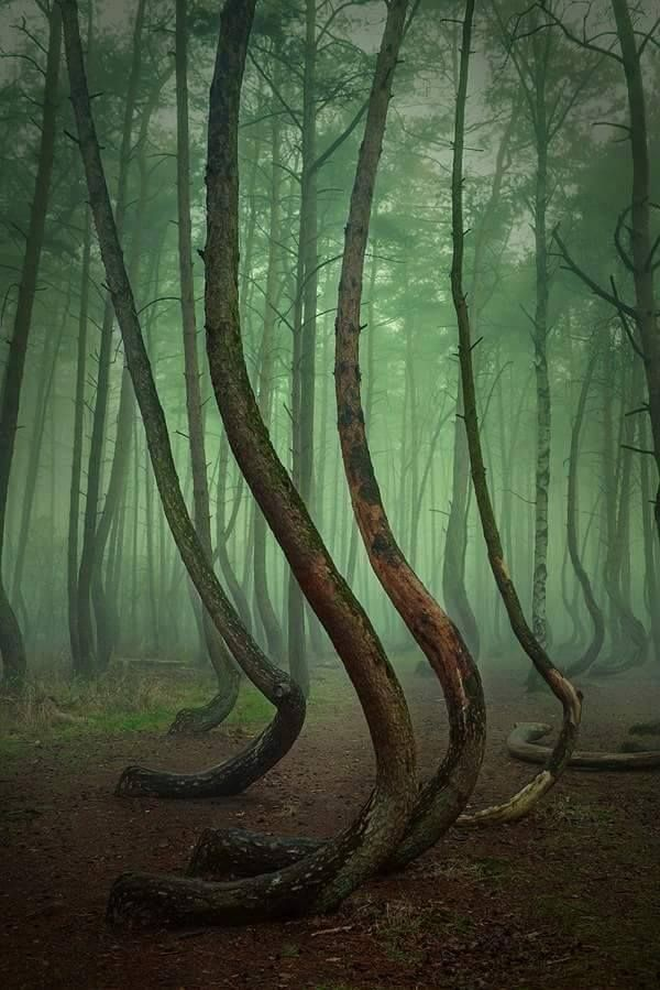 Best Crooked Forest Ideas On Pinterest Where Is Poland - To this day the mystery of polands crooked forest remains unexplained