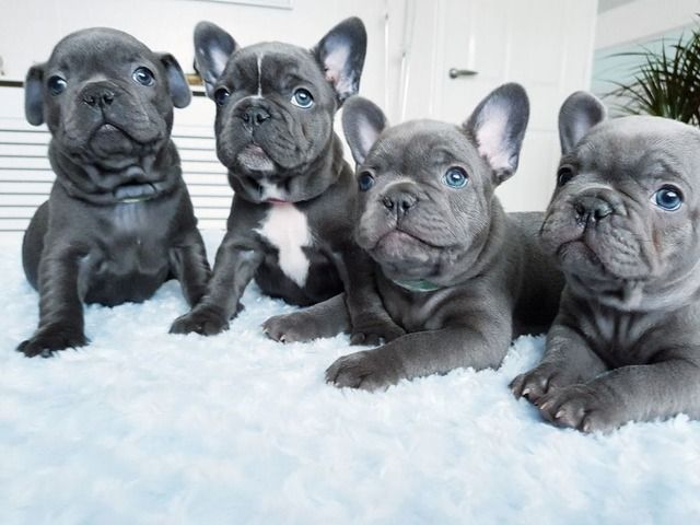 Cutest Animals Puppiespix Instagram Posts Videos Stories On Stalkgram Xyz French Bulldog Puppies Bulldog Puppies French Bulldog