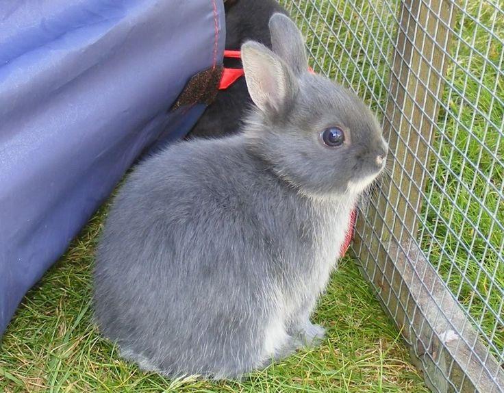 Dwarf Rabbit Size