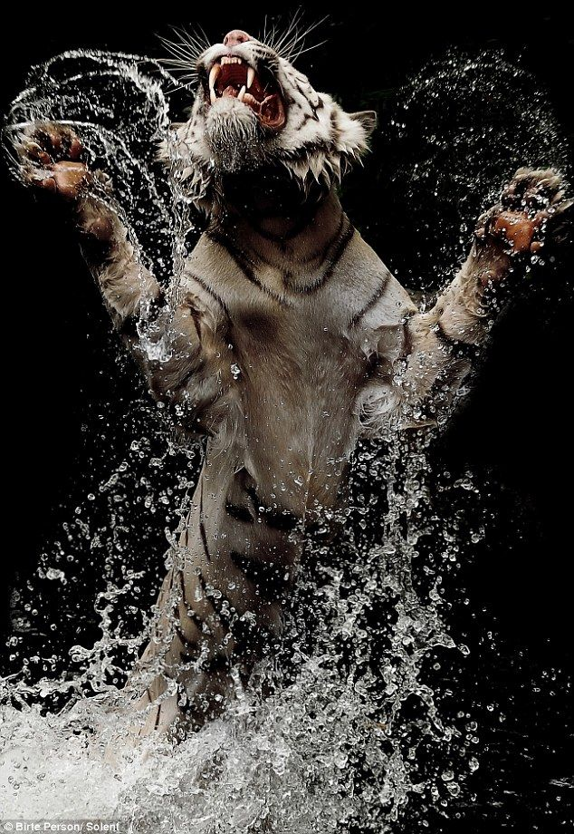 Pictured: Astonishing photos of rare white Bengal tiger in feeding frenzy