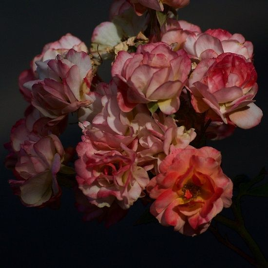 Roadside Roses - Michelle Thompson