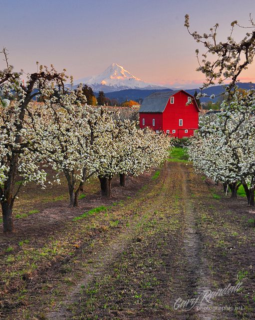 This one is killing me; looks like WA state with apples or cherries blooming, a perfect barn & Mt Ranier in the background; I love Washington