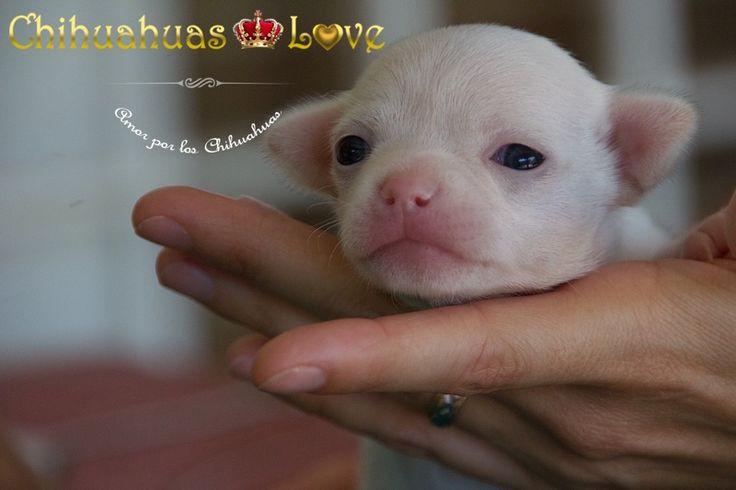 chihuahua blanco ojos azules