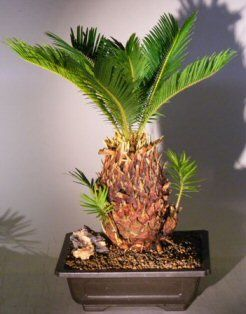 The Sago Palm is a long-lived exotic palm that tolerates neglect but thrives with attention. Adapts to indirect light or full sun and has a wide temperature range from 15 to 120 degrees F. A slow growth rate allows indoor specimens to remain in the same container indefinately. Treat as a cactus -- water when almost dry and seldom fertilize. Great indoor bonsai.