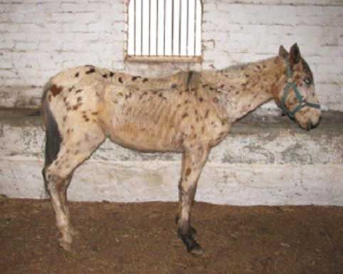 An example of race horse abuse. The ex-race horse, The Spear Of Destiny, was starved to death by the owner. The owner then neglected and starved three more former race horses. Wellington SPCA trie to save them, but it was too late for one of them who suffered multiple organ failure. The other two were suffering from severe malnutrition, but were nursed back to health by Wellington SPCA