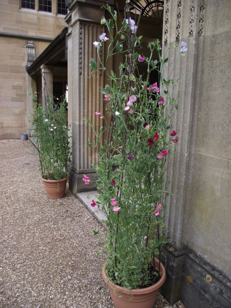 Sweet pea plants used instead of pedestals either side of the front door or ceremony arch for a simple/natural effect.