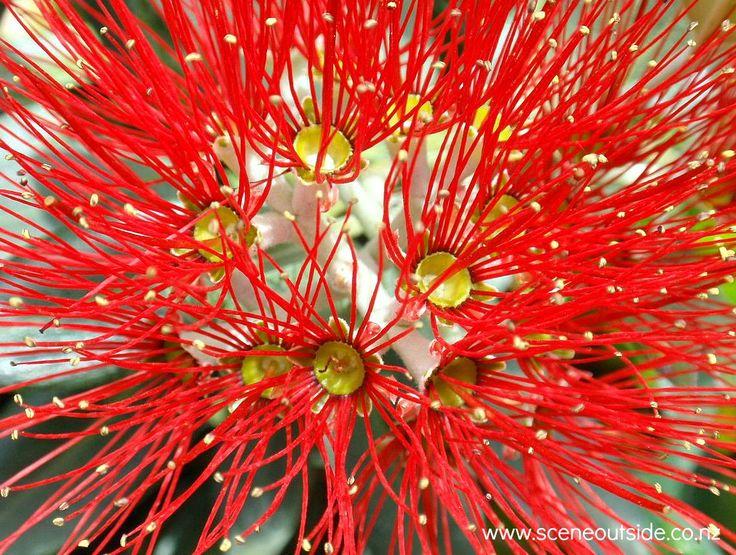 Metrosideros excelsa (Pohutukawa, New Zealand Christmas tree) flowering in December in New Zealand.