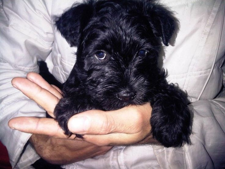 Registered Miniature Schnauzer Puppies For Sale