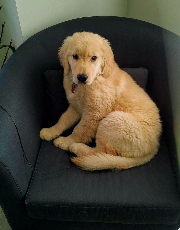Cute Golden #Retriever