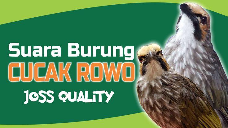 Suara burung cucak rowo - dengar dan download mp3 suara #CucakRowo
