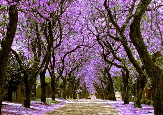 Pretoria in South Africa is popularly known as The Jacaranda City due to the enormous number of Jacaranda trees planted as street trees and in parks and gardens. In flowering time the city appears blue/purple in colour when seen from the nearby hills because of all the Jacaranda trees. Blooming in Pretoria coincides with the year-end exams at the University of Pretoria and legend has it that if a flower from the Jacaranda tree drops on your head, you will pass all your exams.