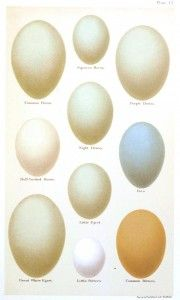 Animal - Bird - Eggs and nests - British Birds -   (20)