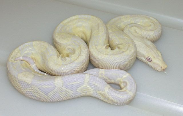 Sharp Snow Boa