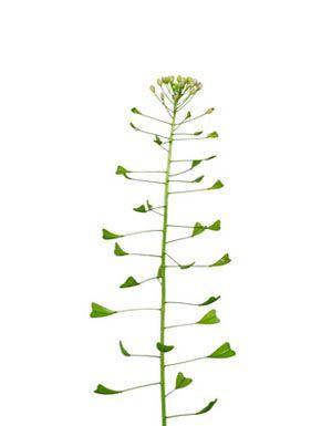 Bolsa-de-pastor Planta medicinal com um efeito adstringente, utilizada principalmente em casos de problemas de menstruação. Bolsa-de-pastor