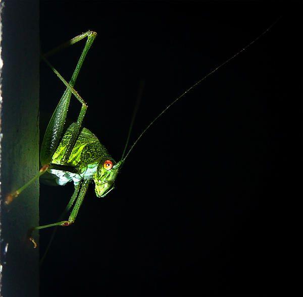 Jimini Cricket