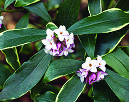 Deeply fragrant pale pink blooms open around Christmas time and fragrance the air inthe depths of winter. Daphne odora 'Aureomarginata' is a hardy evergreen shrub with a rounded compact habit and attractive glossy, yellow edged leaves.