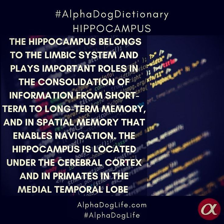 """#WordOfTheDay #AlphaDogDictionary The #hippocampus (named after its resemblance to the seahorse, from the Greek ἱππόκαμπος, """"seahorse"""" from ἵππος hippos, """"horse"""" and κάμπος kampos, """"sea monster"""") is a major component of the brains of humans and other vertebrates. Humans and other mammals have two hippocampi, one in each side of the brain. The hippocampus belongs to the limbic system and plays important roles in the consolidation of information from short-term memory to long-term #memory, and…"""