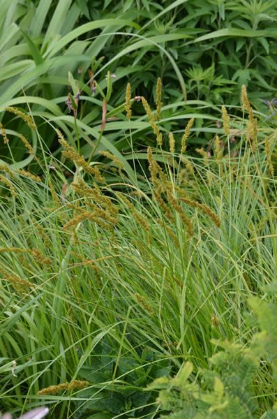 442 best images about grasses and sedges on pinterest for Brown ornamental grass plants