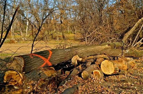 How to Find and Cure Dutch Elm Tree Disease