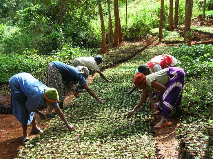 wangari maathai green belt movement | Green Belt Movement tree nursery in Tumutumu Hills, Kenya.