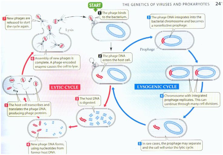 Lytic And Lysogenic Cycle Worksheet - andrewgarfieldsource