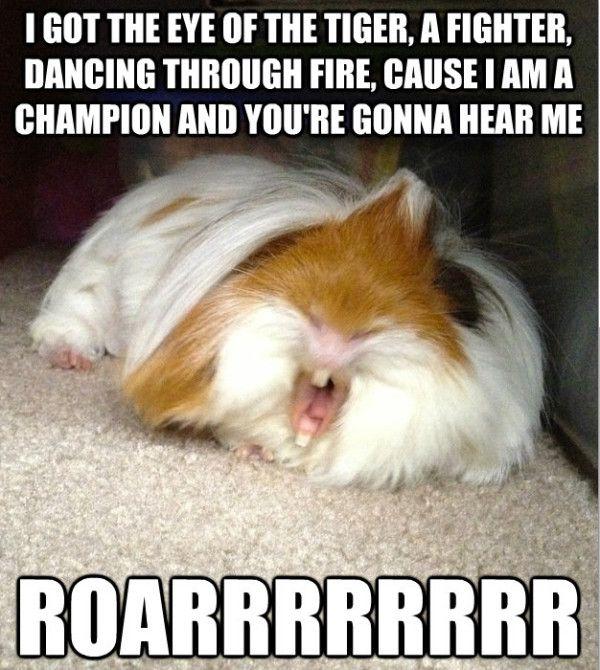 guinea pig funny - Google zoeken