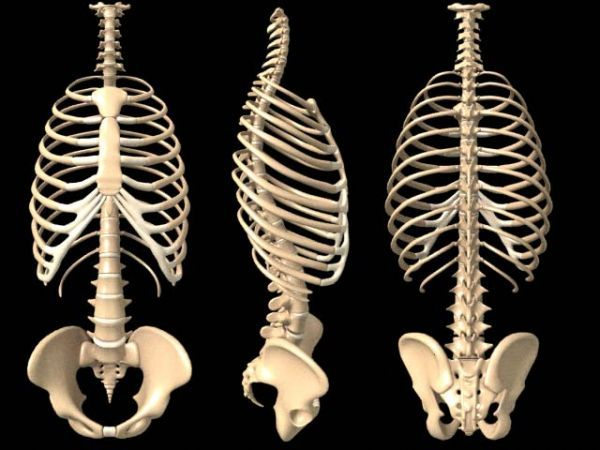 the 25+ best ideas about human ribs on pinterest | rib cage, Skeleton