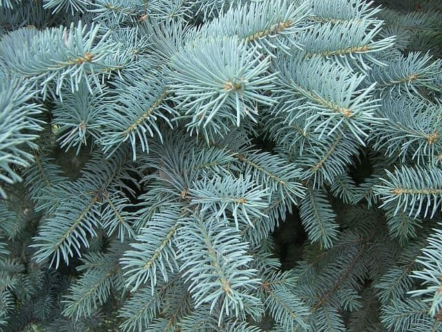 The Blue Spruce is known for its hardier branches with thick nettles. The tree is known for its pale blue color and the aromatic smell. Sort of resembling a pine tree, these spruce trees and more bushy and tend to fan out farther than stay clumped up. This makes the tree one of the most popular winter trees and grow well all year long.