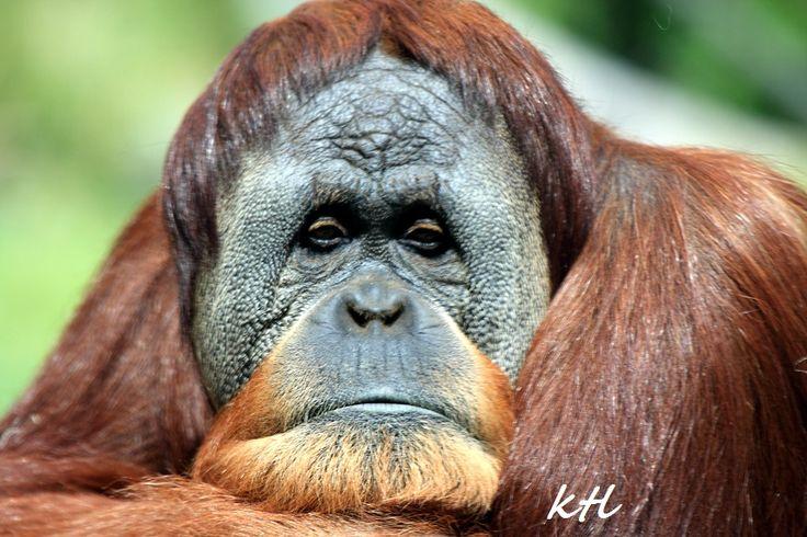 animal faces | Orangutan ( sad? )- this picture was taken ...