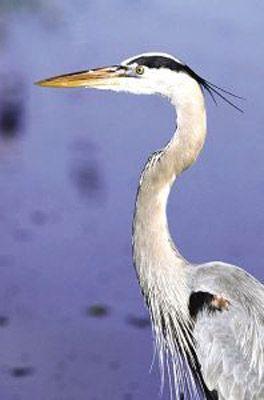 Star Remedies Great Blue Heron-am Bl Reiger  Animal Essences Great blue heron (Amerikaanse blauwe reiger)  EUR 15.90  Meer informatie