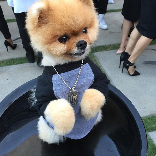 Best Jiff Pom Images On Pinterest Pomeranians Puppies And Dog - Jiff the pomeranian is easily the best dressed model on instagram