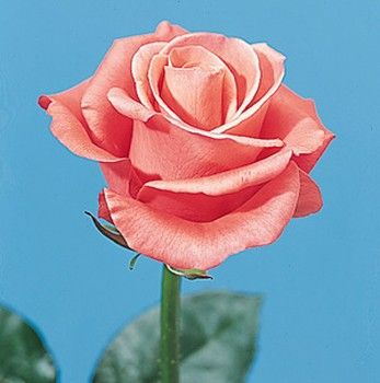 roses  hybrid | Care Information For Hybrid Tea - Calyx Flowers Floral Library