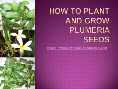 17 best images about plumeria cuttings and plumeria seeds for How to plant lemon seeds after germination