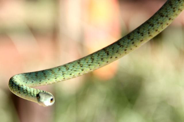 This snake is characteristically spotted over its entire body