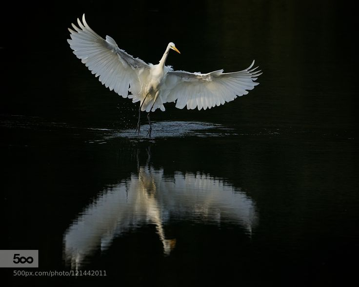 Great Egret landing in the shadows by ErikVeldkamp. Please Like http://fb.me/go4photos and Follow @go4fotos Thank You. :-)