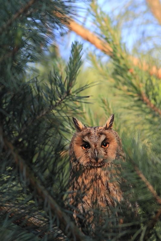 Uszatka - Ptaki Polski - fotografia przyrodnicza