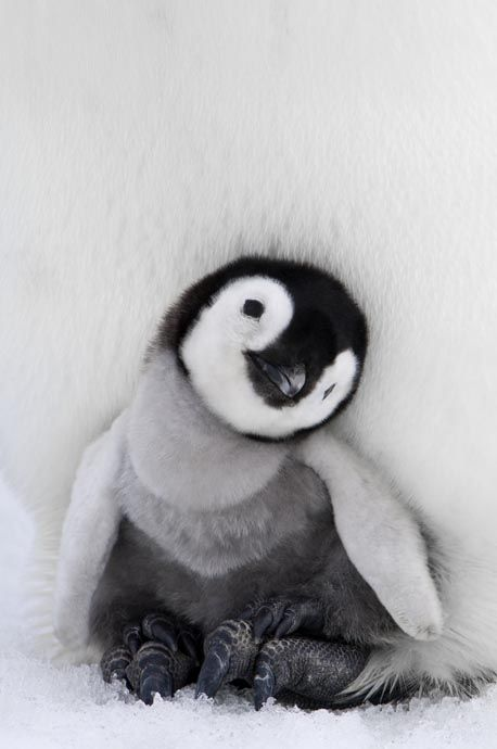 This fluffy, itty bitty emperor penguin just broke the cuteness scale!