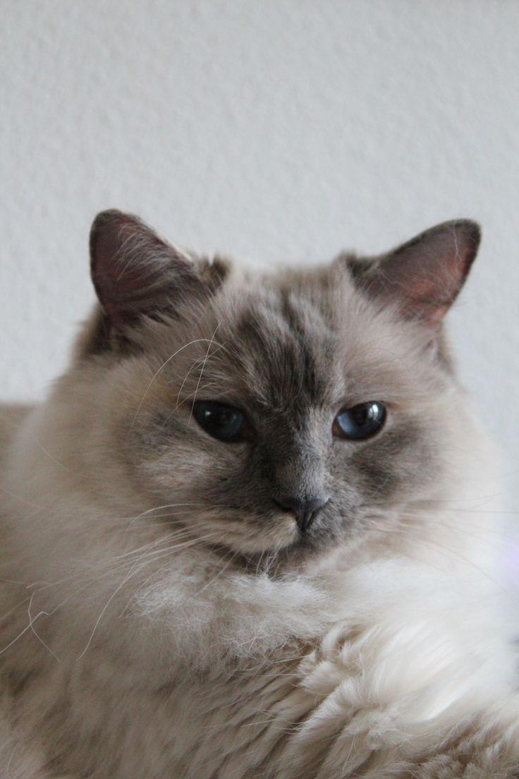 Laika is een ragdoll. Ze heeft een dikke, zijdezachte vacht en prachtige blauwe ogen. Ze zoekt vaak gezelschap op en daagt graag de hond uit voor een spelletje stoeien.