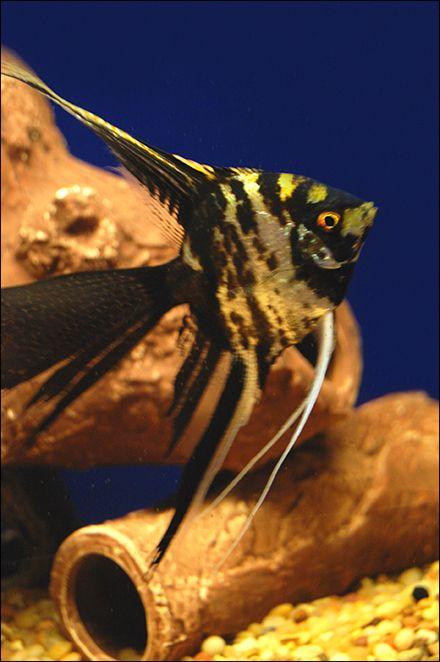 Angel Fish - Also Called Freshwater Angelfish.